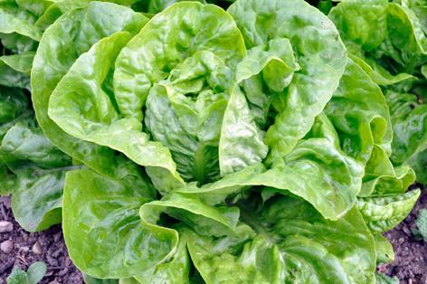 Salat Bautzner Dauerkopf