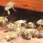 Findet nicht statt: Wesensgemäße Bienenhaltung